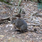Buskvallaby (Pademelon, Thylogale sp.) i Dismal Swamp