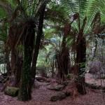 Man-fern Dicksonia antarctica i The Julius River Forest Reserve